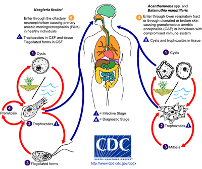 Illustration of the life cycle of the parasitic agents responsible for causing free-living amebic infections