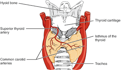 Fig 1. Anterior view of the thyroid gland. The thyroid gland is located in the neck where it wraps around the trachea and is divided into two lobes that are connected by the isthmus, which crosses the mid-line of the upper trachea at the second and third tracheal rings.
