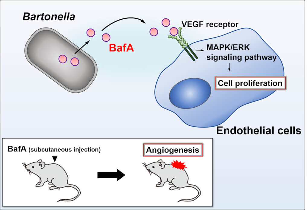 Figure 1. This study identifies the molecular mechanism by which Bartonella bacteria cause lesions to appear over a patient's body. Photo courtesy: Kentaro Tsukamoto