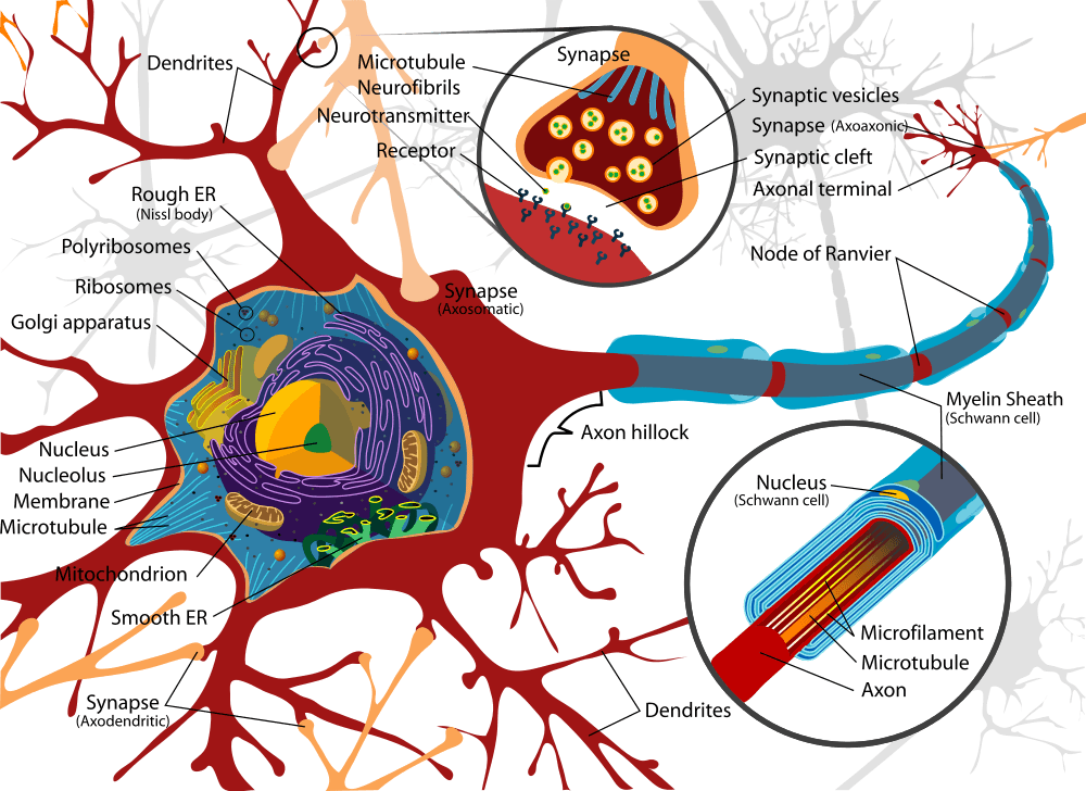 Complete neuron cell diagram showing dendrites, neurotransmitter and receptacle. Neurons (also known as neurones and nerve cells) are electrically excitable cells in the nervous system that process and transmit information. In vertebrate animals, neurons are the core components of the brain, spinal cord and peripheral nerves.