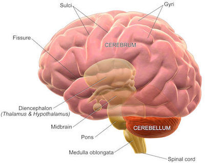 Basic labeled human brain structure.