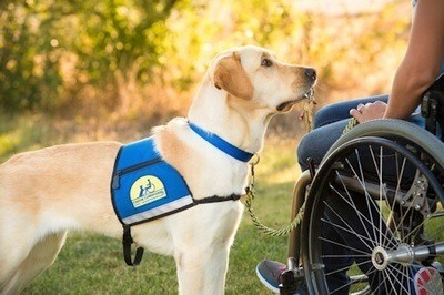 Canine Companions for Independence service dog retrieves keys for person in a wheelchair.