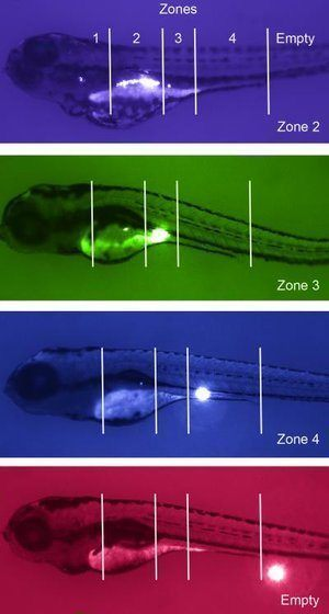 To confirm the findings, researchers worked with scientists at Duke University who do zebra fish modeling.