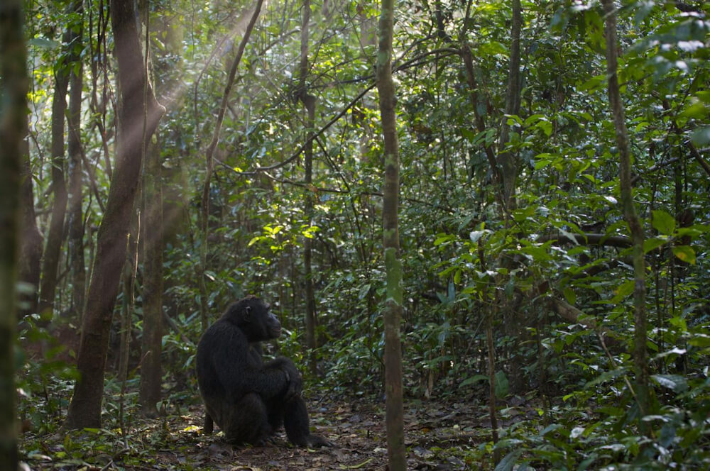 A chimpanzee researchers have named Duane watches the sunrise in Uganda - Image Credit: Florian Moellers.