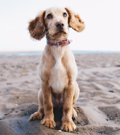 Dog sitting on the beach - The study suggested that that fear or anxiety about noise could be association between a fear of noises and underlying pain.