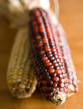 Normal yellow corn cob alongside reddish brown GM corn cob
