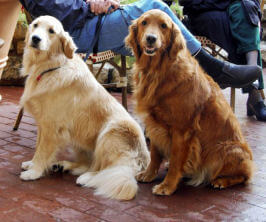 Two Golden Retriever Dogs on leash sitting