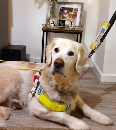 A guidedog wearing a harness lies on the floor looking up at something out of camera view.