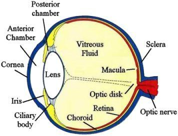 Fig 1. Diagram of the human eye