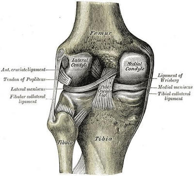 Left knee-joint from behind, showing interior ligaments.
