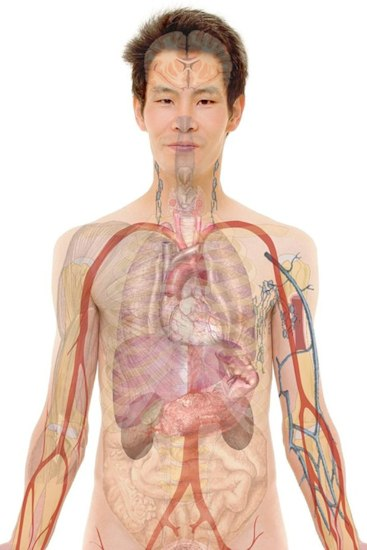 Fig 2. Medical depiction of a male body showing internal organs.