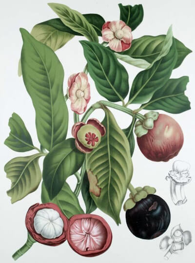 """Garcinia mangostana L. from """"Fleurs, Fruits et Feuillages Choisis de l'Ile de Java"""" (Selected Flowers, Fruit and Foliage from the Island of Java)"""