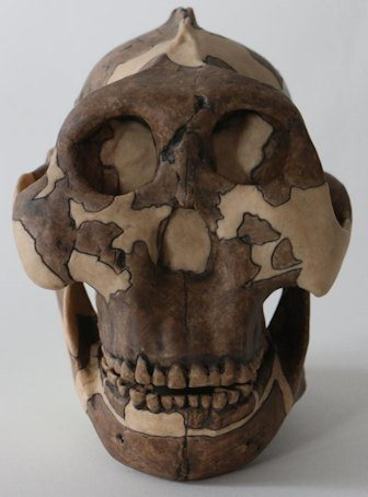 Cast of a P. boisei skull, used for teaching at Cambridge University - Image Credit: Louise Walsh