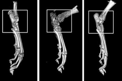 Shown are 3-D CT scans of rat paws. The image on the left shows a normal paw. In the center image, the effects of rheumatoid arthritis are visible at the joint. The image on the right indicates the drug compound CDD-450 reduces this damage.