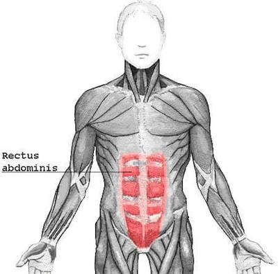 Fig 1. Diagram of the Human Rectus Abdominis muscle.