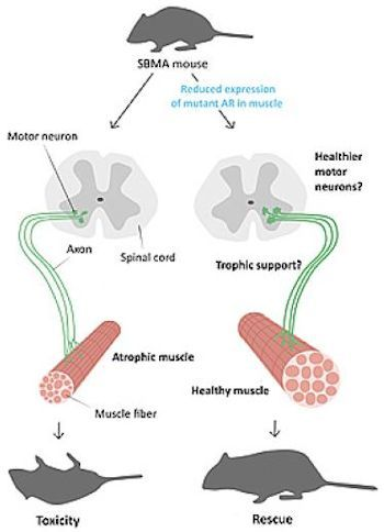 This is a graphic of the SBMA mouse model - Photo Credit: UC San Diego School of Medicine