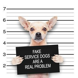 While there are are roughly 22,000 legitimate service dog teams in America, hundreds of thousands of fake service dog vests, certificates and ID cards are sold every year.