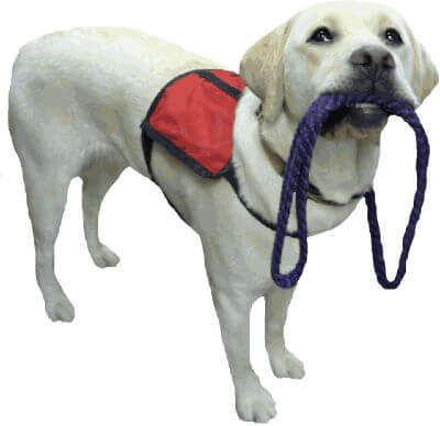Labrador retriever puppy service dog wearing a small red vest and holding a leash in its mouth.
