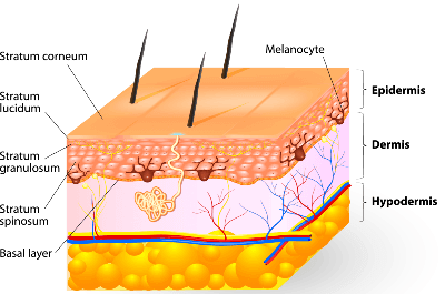 Illustration shows the three primary layers of human skin; epidermis, dermis, and hypodermis.