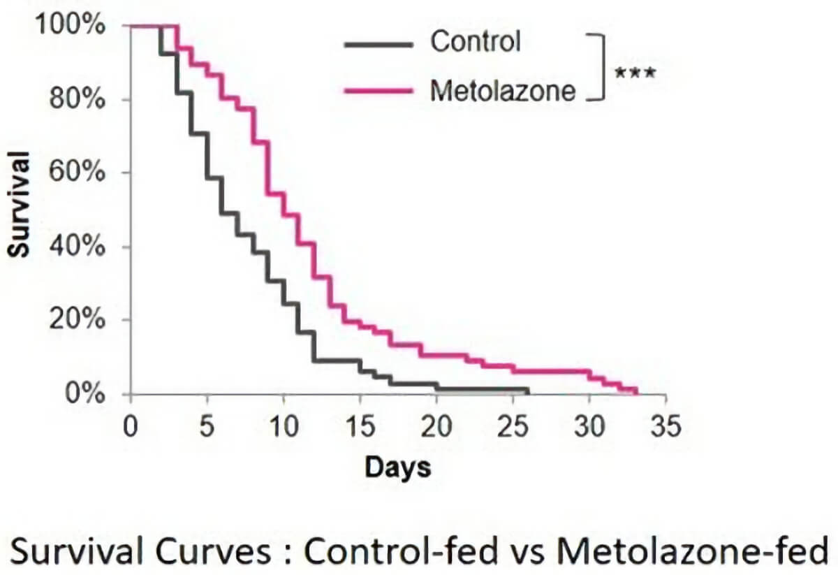 Scientists found that C. elegans administered metolazone lived longer than those that were not given the drug. This suggests that metolazone, despite being an anti-hypertension drug, can be used in anti-aging research. Image courtesy: Eriko Kage-Nakadai, Osaka City University.