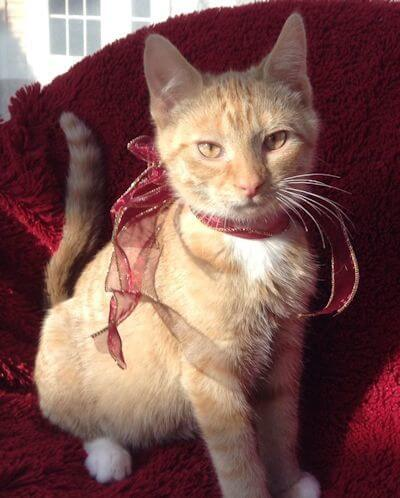 Ginger is an Orange Tabby Therapy Cat