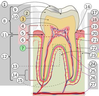fig 1. Labeled diagram of a human tooth.